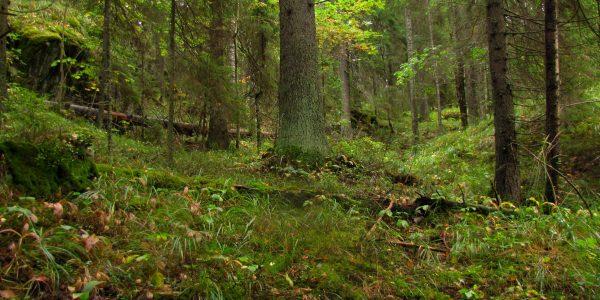 леса приладожья